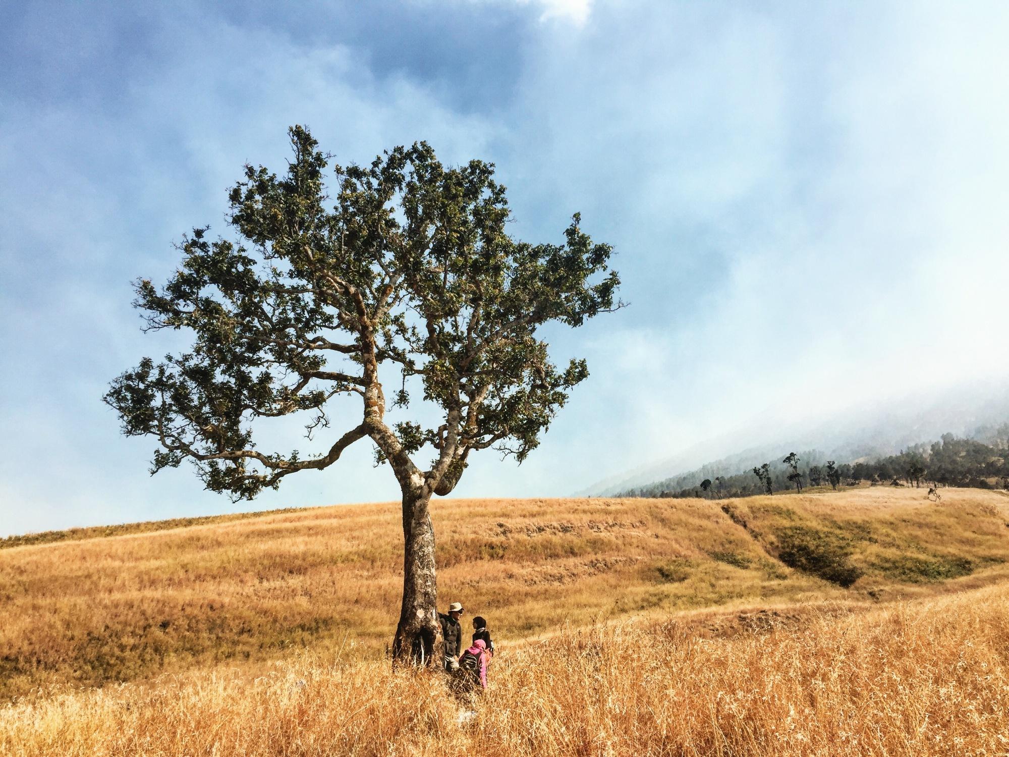 Solo Tree, satu dari sedikit pohon yang bisa dijadikan tempat berteduh selama perjalanan menuju Plawangan Sembalun